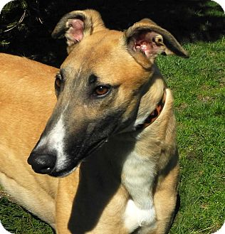 Greyhound Dog for adoption in Florence, Kentucky - Benny