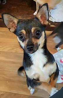 Chihuahua Dog for adoption in Baileyton, Alabama - Bella