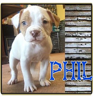 American Bulldog Puppy for adoption in Conroe, Texas - Phil