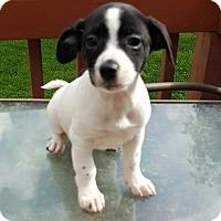 Adopt A Pet :: Fozzie - Duluth, GA