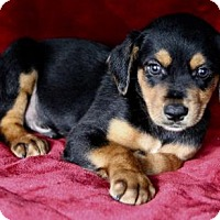 Adopt A Pet :: Hawkeye - Picayune, MS