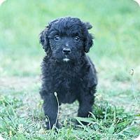 Adopt A Pet :: Mr. Fluffington - Auburn, CA