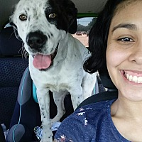 Labrador Retriever/Pointer Mix Dog for adoption in Spring, Texas - Chance