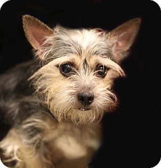 Schnauzer (Miniature)/Yorkie, Yorkshire Terrier Mix Dog for adoption in Newtown, Connecticut - Ollie