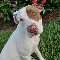 Adopt A Pet :: STELLA - West Palm Beach, FL