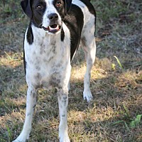 Adopt A Pet :: Mojave (livestock save,disable - Copperas Cove, TX