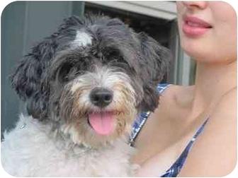 Cockapoo Dog for adoption in Long Beach, New York - Oscar
