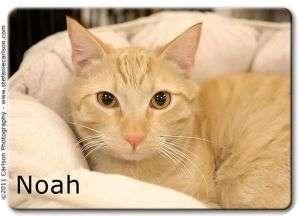 Domestic Shorthair Kitten for adoption in Yorba Linda, California - Noah
