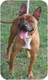 American Pit Bull Terrier Mix Dog for adoption in Charlotte, North Carolina - Lennon