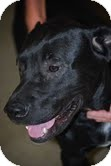 Labrador Retriever Mix Puppy for adoption in Boonsboro, Maryland - Rocky