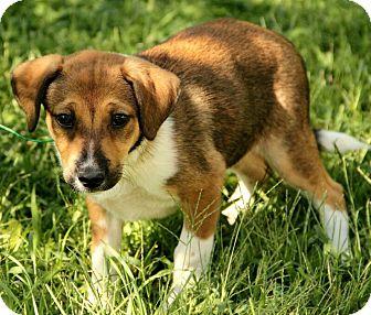 Border Collie Mix Puppy for adoption in Portland, Maine - Gigi