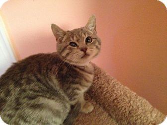 Domestic Shorthair Kitten for adoption in East Hanover, New Jersey - Skippy