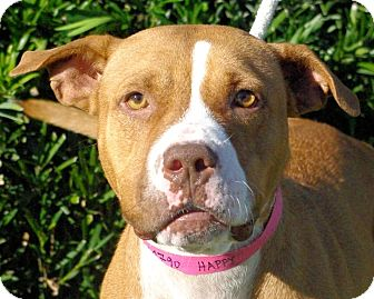 Pit Bull Terrier Mix Dog for adoption in Daytona Beach, Florida - Happy