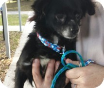 Chihuahua Dog for adoption in St. Petersburg, Florida - Blackie
