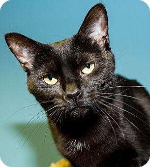 Domestic Shorthair Cat for adoption in Seville, Ohio - Alegra