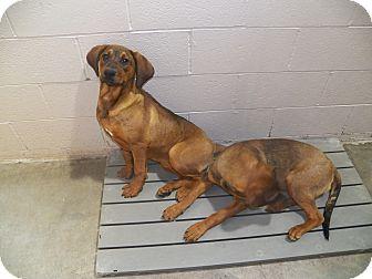 Boxer/Labrador Retriever Mix Puppy for adoption in Osceola, Arkansas - Dash and Ash