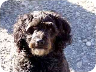 Cockapoo Mix Dog for adoption in Roundup, Montana - Shadow