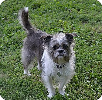 Shih Tzu/Terrier (Unknown Type, Small) Mix Dog for adoption in Troy, Ohio - Murray ~ Adopted