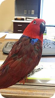 Eclectus for adoption in Redlands, California - Simmie