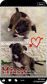 Australian Shepherd/German Shepherd Dog Mix Puppy for adoption in Tracy, California - Nala-ADOPTED!