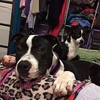 American Pit Bull Terrier Mix Dog for adoption in San Dimas, California - Nikita