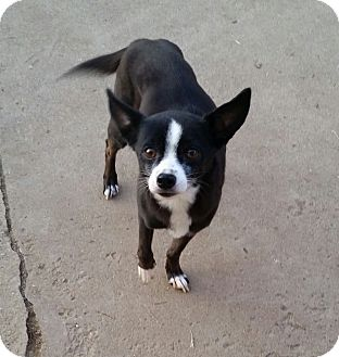 Terrier (Unknown Type, Small)/Chihuahua Mix Dog for adoption in Gustine, California - SUNNY