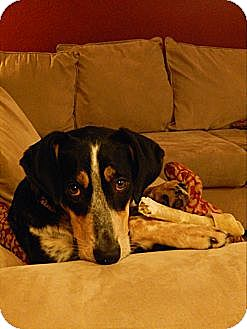 Bluetick Coonhound/Australian Cattle Dog Mix Dog for adoption in Guelph, Ontario - Riley