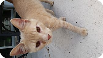 Domestic Shorthair Cat for adoption in Orlando-Kissimmee, Florida - Clyde
