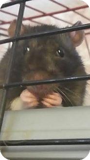 Rat for adoption in Philadelphia, Pennsylvania - MARTY