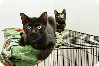 Domestic Shorthair Cat for adoption in Frankenmuth, Michigan - Spencer