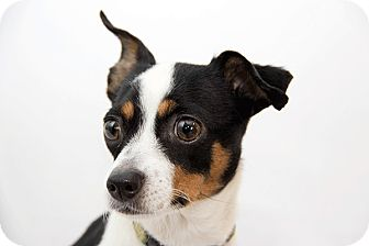 Chihuahua/Toy Fox Terrier Mix Dog for adoption in Cumberland, Maryland - Bebe