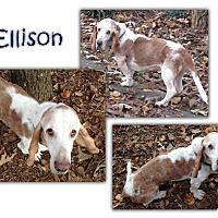 Adopt A Pet :: Ellison - Marietta, GA