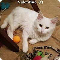 Adopt A Pet :: Valentine - Bentonville, AR