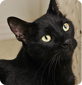 Domestic Shorthair Cat for adoption in Venice, Florida - Jet