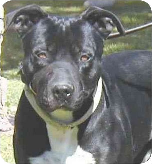 American Pit Bull Terrier/Labrador Retriever Mix Dog for adoption in San Clemente, California - NILES-Big and Handsome