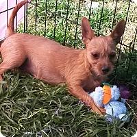 Adopt A Pet :: Sugar - East Hartford, CT