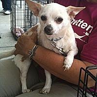Chihuahua Mix Dog for adoption in Acworth, Georgia - Zane
