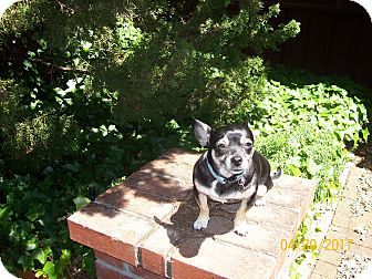 Chihuahua/Jack Russell Terrier Mix Dog for adoption in Lafayette, California - Becky