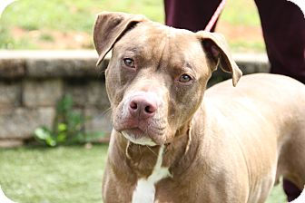 Pit Bull Terrier Mix Dog for adoption in Greensboro, North Carolina - Serena