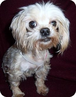 Maltese Dog for adoption in Anderson, South Carolina - Genie