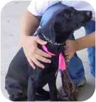 Labrador Retriever Mix Puppy for adoption in Carrollton, Texas - Mark Spitz