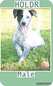 German Wirehaired Pointer Mix Puppy for adoption in East Hartford, Connecticut - Holdr in CT
