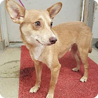 Terrier (Unknown Type, Small) Dog for adoption in Angola, Indiana - Shawn