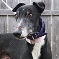 Adopt A Pet :: PAT C CABERNET - Grandville, MI