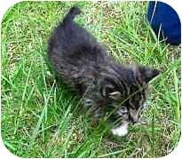 Domestic Shorthair Kitten for adoption in Aldie, Virginia - Boogie and Dash