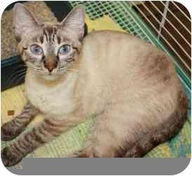 Siamese Cat for adoption in Westport, Connecticut - Gabriella