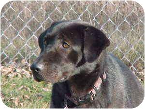 Labrador Retriever Dog for adoption in Rochester Hills, Michigan - Bear