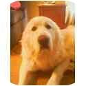 Great Pyrenees Dog for adoption in Minneapolis, Minnesota - Sebastian