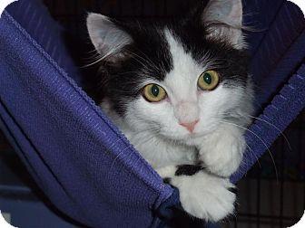 Domestic Mediumhair Kitten for adoption in Santa Monica, California - Carmen