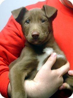 Labrador Retriever/German Shepherd Dog Mix Puppy for adoption in Manassas, Virginia - Ozzie